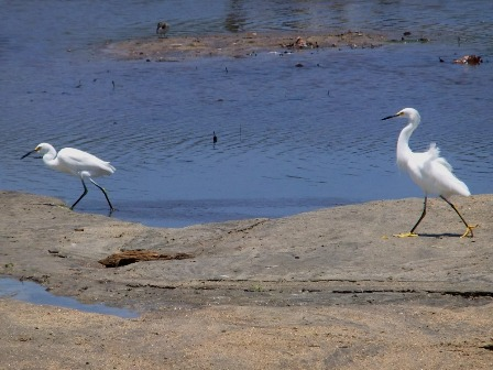 Snowy Egrets in Tayrona National Park in Colombia