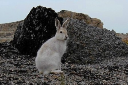 A wild arctic hare in the mountains near Igaliku, Greenland