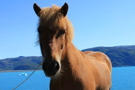 A Greenlandic horse in front of the church in Qassiarsuk