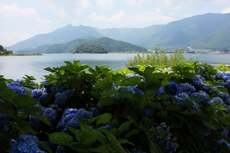 Hortensia flowers on the shores of Lake Kawaguchiko