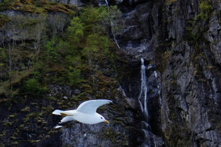Waterfalls and birds on the fjord